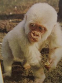 white gorilla witeSneeuwvlokje was the mid 60's born in Equatorial Guinea, at the time the Spanish colony of Spanish Guinea, in Africa. As a young monkey, he was captured on October 1, 1966 in the vicinity of Nko, his mother was slain by the hunter. At the age of two he ended up in the Parc Zoologic de Barcelona. There he was by his striking looks a major landmark and tourist attraction. His image appeared on postcards and publicity material and the city of Barcelona used him as a mascot. Orangutans, Chimpanzee, Gorillas In The Mist, Rare Albino Animals, Dian Fossey, October 1, Primates, Postcards, Monkey