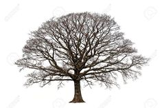 Photo about Oak tree in winter devoid of leaves set against a white background. Image of beauty, bare, meadow - 2259510 Oak Tree Silhouette, Tree Silhouette Tattoo, Pencil Trees, Oak Tree Tattoo, Tree Logos, Bare Tree, Tree Sculpture, Deciduous Trees, Winter Trees