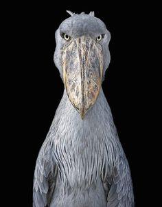 Shoebill by Tim Flach. #timflach #animalphotography #shoebill