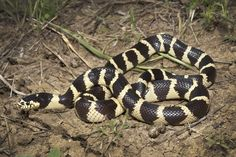 California Kingsnake (Lampropeltis getula californiae)
