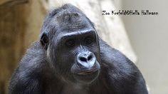 Junior v Krefeld Zoo: Gorila dítě narodí v zoo - matka Miliki