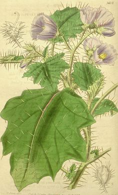 Botanical Print By Walter Hood Fitch 1817 – 1892 Drawing by Quint Lox