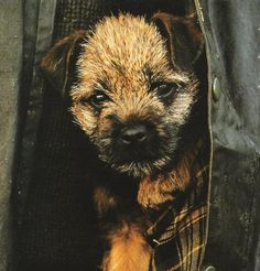 Border Terrier pup in a Barbour...http://annabelchaffer.com/