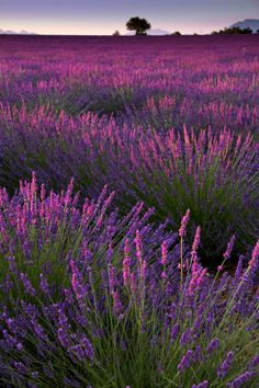What's not to love about lavender? It's low maintenance and drought-tolerant, once established. It attracts bees and butterflies but is deer- and rabbit-resistant. It can be used in cosmetics, medicine, and cuisine. And the beloved fragrance, prized for millennia, is refreshing, clean, and very soothing. To enjoy the fragrance of lavender year-round, dry and preserve this beloved herb by hangingsmall bunches upside down in a dark, dry room until the moisture has evaporated. ...