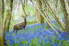 Roe Deer (Capreolus capreolus) amongst Bluebells - Longwood, UK. ID JBB_0457
