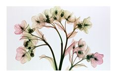Radiografía de flores