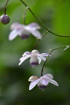 御岳山のレンゲショウマ(蓮華升麻・キンポウゲ科) Anemonopsis macrophylla at Mt. Mitake, Tokyo