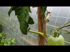 Ce TRATAMENT pentru MANA am folosit noi si am salvat rosiile - YouTube Tomato Garden, Garden Tomatoes, Youtube, Solar, Organic, Tomatoes, Youtubers, Youtube Movies