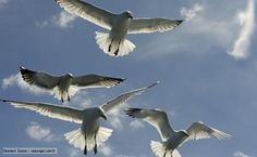 Google Image Result for http://ichef.bbci.co.uk/naturelibrary/images/ic/credit/640x395/h/he/herring_gull/herring_gull_1.jpg