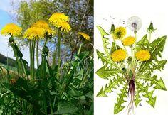 Ayurveda, Herbalism, Flora, Health Fitness, Herbs, Gardening, Plants, Masky, Syrup