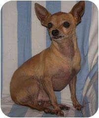 Spanaway, WA - Chihuahua Mix. Meet Monte a Dog for Adoption.
