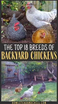 Let's talk about some of the best and most popular chicken breeds that you might want to consider including in your back Easy Chicken Coop, Chicken Garden, Chicken Coop Designs, Backyard Chicken Coops, Farm Chicken, Backyard Poultry, Raising Backyard Chickens, Keeping Chickens, Backyard Farming