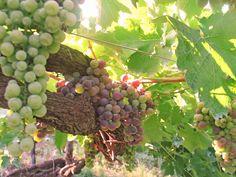 #falanghina #grape
