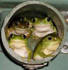 Five green tree frogs peering out from a rainwater pipe in Cairns Queensland Funny Frogs, Cute Frogs, Animals And Pets, Funny Animals, Cute Animals, Reptiles And Amphibians, Mammals, Beautiful Creatures, Animals Beautiful