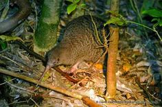 Little Spotted Kiwi