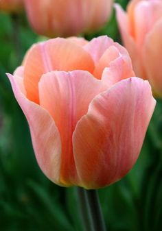 Apricot Beauty tulip, 1953 oldhousegardens.com: