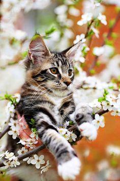 Котята мейн-кун (фото): как правильно растить и ухаживать Смотри больше http://kot-pes.com/kotyata-mejn-kun-foto-kak-pravilno-rastit-i-uxazhivat/ http://www.mainecoonguide.com/maine-coon-personality-traits/