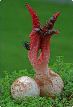 Clathrus archeri, commonly known as octopus stinkhorn, or devil's fingers. The young fungus erupts from a suberumpent egg by forming into four to seven elongated slender arms initially erect and attached at the top. In maturity it smells of putrid flesh. Weird Plants, Unusual Plants, Rare Plants, Mushroom Art, Mushroom Fungi, Mushroom Species, Wild Mushrooms, Stuffed Mushrooms, Organic Gardening