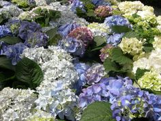 hydrangea bed ...Conservatory at the Bellagio, Vegas...from my personal pics.