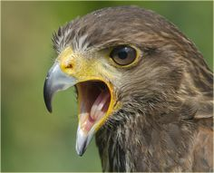 Harris Hawk   (parabuteo unicinctus) by jimmyedmonds, via Flickr