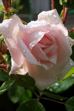 #I love pale pink roses