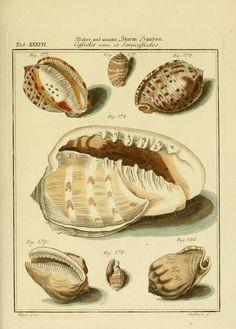 2 Bd. (1773) - Neues systematisches Conchylien-Cabinet / - Biodiversity Heritage Library