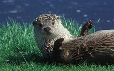 Otter Country by Miriam Darlington: review - Telegraph