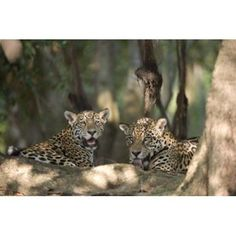 Jaguars (Panthera onca) resting in a forest Three Brothers River Meeting of the Waters State Park Pantanal Wetlands Brazil Canvas Art - Panoramic Images (16 x 11)