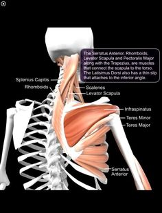 the serratus anterior is one of the most important muscles