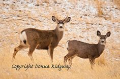 Wildlife photo animal photo buck deer by NaturePhotosMontana, $9.99 Personal use and limited commercial use.