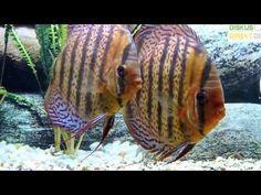 Stendker Téfé Discus Discus Aquarium, Discus Fish, Freshwater Aquarium, Fish Tank, Fresh Water, Animals, Pisces, Fishbowl, Animales