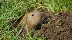 how to get rid of gophers under the house