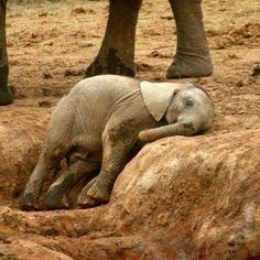 Baby elephant, so tired❣