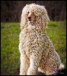 standard #poodle (wavy fur)--cut down hair around head