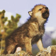Cute Baby Animals, Animals And Pets, Funny Animals, Strange Animals, Beautiful Wolves, Animals Beautiful, Wolf Pictures, Animal Pictures, Wolf Love