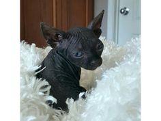 hairless Canadian sphynx kittens