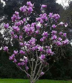 Saucer magnolia tree