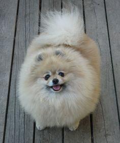 Pomeranian - LittlePomPoms