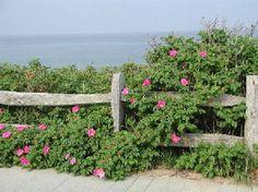 Cascading pink rosa rugosa Tripadvisor.com