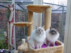 Holy Birmans Bijoux and Daisey, 7,5 years old