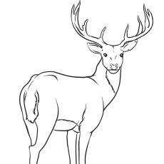 Top 20 Deer Coloring Pages For Your Little Ones Deer Drawing Deer Coloring Pages Forest Drawing