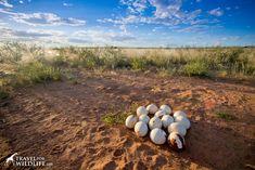 an abandoned ostrich nest full of eggs in the Kalahari Desert, Namibia #website