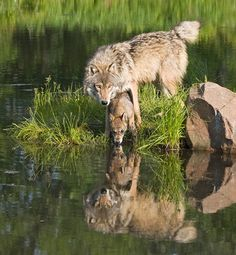 .reflecting wolves