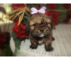 Cavatsu on Pinterest | Puppies For Sale, Cavalier King ...
