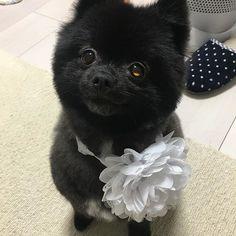 カットしたよ♡ ふわふわ咲空ちゃん♡ #北新地 #キャバ嬢 #愛犬 #ポメラニアン #黒ポメ #カット #まるまる #もこもこ