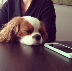 Cavalier King Charles ~ iphone ~ Fell asleep waiting for Mom to call