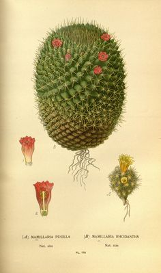 .Mammillaria (nipple cactus - yes!)