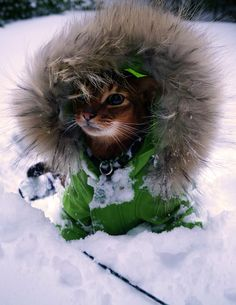 Jake the Abyssinian cat in United Bamboo parka
