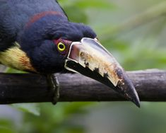 Aracari in attack mode