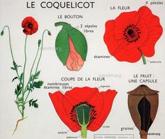 Rossignol Montmorillon Le Coquelicot affiche